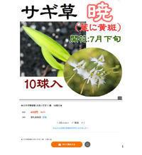 サギソウ暁について・・・ - The blog of meraki
