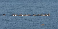 渡良瀬遊水地にマガンの群れが - コーヒー党の野鳥と自然 パート2