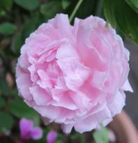 Koiko's Rose Collection 26)ER セント・スウィザン St. Swithun™(Auswith) - 恋子のガーデニング日記