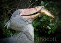 ハシビロコウ:Shoebill - 動物園の住人たち写真展