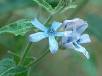 オキシペタルム・コエルレウム - 花の仲間調べ