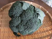 """美味しいブロッコリーの見分け方 - 〔家庭菜園日記〕 """"すろーらいふ"""" 茅ケ崎のはまちゃん. 野菜つくり"""