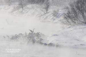真冬のハクチョウたち - ekkoの --- four seasons --- 北海道