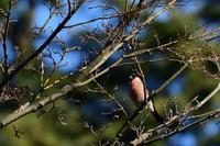 ウソと水場の鳥 01月22日-2 - 旧サンヨン(Nikon 300mm f/4D)野鳥撮影放浪記