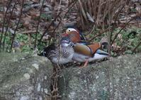 オシドリ - 写真で綴る野鳥ごよみ