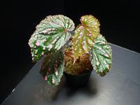 Begonia negrosensis - ベゴの葉っぱ