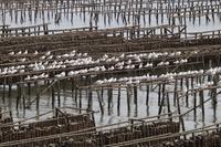 群れ群れ群れ ユリカモメ&ハマシギ  - 野鳥写真日記 自分用アーカイブズ