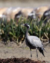 畑のアネハヅル - T/Hの野鳥写真-Ⅱ