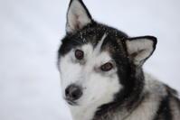《犬ぞり》極北人と犬 - ヤムナスカ Blog