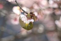 寒桜メジロ - さてもさての見て歩き