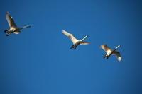 川島町 白鳥飛来地 - 3 - - うろ子とカメラ。