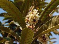 枇杷(ビワ) - 新・四季の花