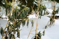 寒に堪える石楠花とバカ首相に堪える国民 - 照片画廊