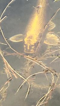 金の人面鯉/大濠公園 - 不味くないネーデルランド