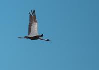 アネハヅル - 今日も鳥撮り