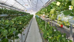 苺の美味しい季節デス。 -   『ナイスショット軽井沢!』軽井沢リゾート情報