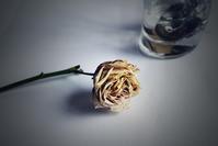 冬の薔薇 - たなぼた
