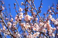 梅の咲く里山で♪ (写真部門) - happy-cafe*vol.2