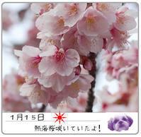 2017年1月15日 熱海桜(動物・ペット部門) - 週末は、愛犬モモと永吉とお出かけ!Kimi's Eye