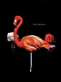 flamingo (写真部門) - A  B  C