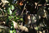 ツミ 01月22日-4 - 旧サンヨン(Nikon 300mm f/4D)野鳥撮影放浪記