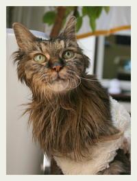 22才 ご長寿猫 はんぞう との暮らし 「1月16日~1月20日の はんぞう」 - たびねこ