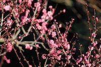 梅の咲く公園の鳥たち♪ - happy-cafe*vol.2