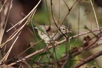 ウグイスの地鳴きアピール - 野鳥写真日記 自分用アーカイブズ