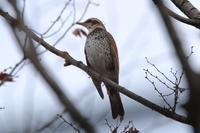 ハイタカ接近 - 野鳥写真日記 自分用アーカイブズ
