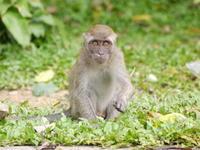 バトゥ洞窟のお猿さん - ぶらり休暇