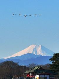 白鳥が富士山に刺さる?♪ - 『私のデジタル写真眼』