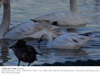旧本埜村白鳥飛来地 2017.1.28(1) - 鳥撮り遊び