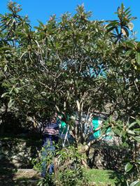 ビワの木一本、お世話することになりました♪ - HANA 花♪日記
