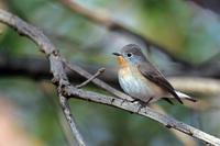 公園での出会い - 武蔵野の野鳥