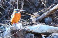 槻川に集う野鳥(カワセミ) - 何でも写真館