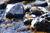 槻川に集う野鳥(キセキレイやサギたち) - 何でも写真館