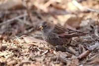 ハギマシコ - 『彩の国ピンボケ野鳥写真館』