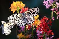 蝶の楽園(写真部門) - andante...