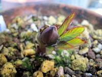 原種H.クロアチクスDDの蕾 - リリ子の一坪ガーデン