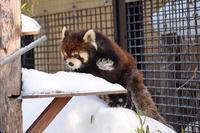 極寒の旭山詣・その2 - レッサーパンダ☆もふてく放浪記