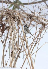 冬景色の野鳥さん~旭川にて - My favorite ~Diary 3~