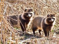 """ホンドタヌキ(狸)/Raccoon dog - 「生き物たちに乾杯」 第3巻 """"A Toast to Wildlife!"""" vol. 3"""