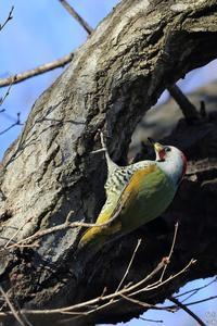 今年も居ました アオゲラ - 野鳥公園