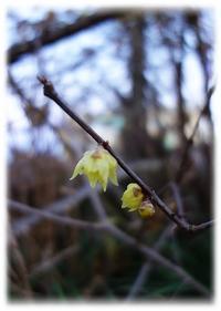 ◆田舎に咲いていた蝋梅とスライサーで千枚漬け(・ω・)ノ(自由部門) - ☆彡ちいさな幸せ☆彡別館