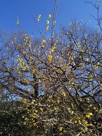 """あしかがフラワーパークの冬の花""""蝋梅(ろうばい)""""と黄色の花たち - 健気に育つ植物たち"""