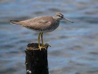 干潟の鳥たち - Nobbyの鳥ぶろぐ