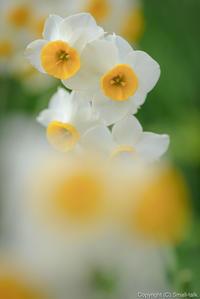 ナルシスの花園 - ひつじ雲日記