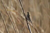 葦で食事中 - 私の鳥撮り散歩