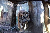 トラの住む森 - 動物園放浪記