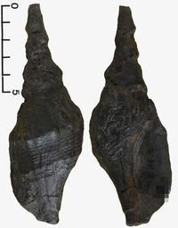 和泉層群の化石たち(3)…巻貝(3) - ふぉっしるもしてみむとてするなり